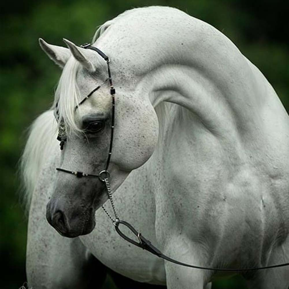 Jadoube Ibn Lahab DMF  - New Standing Stallion at Countryside