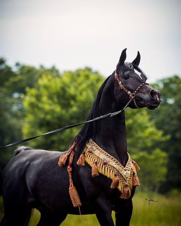 New Standing Stallion Jadoube Jubeleo Now at Countryside